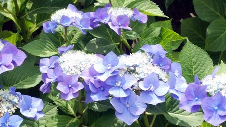 憂鬱な梅雨が楽しくなる6月の江ノ島、鎌倉~江ノ島、鎌倉は紫陽花(アジサイ)の名所