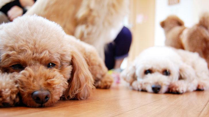 小型犬の特徴・飼い方・しつけ方